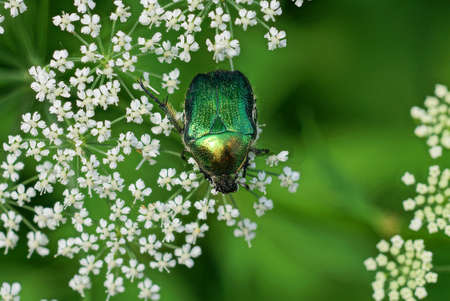 one large green bug collect pollen on a white flower on nature in a summer park