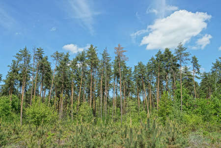 Green pine trees on the edge of a forest in the background of blue sky and white clouds