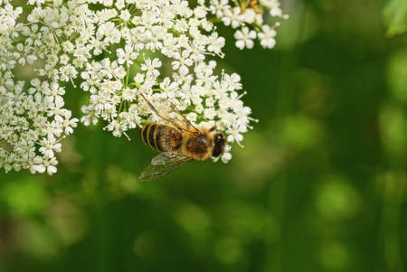 one little brown bee sits on a wild white flowers in nature Stockfoto