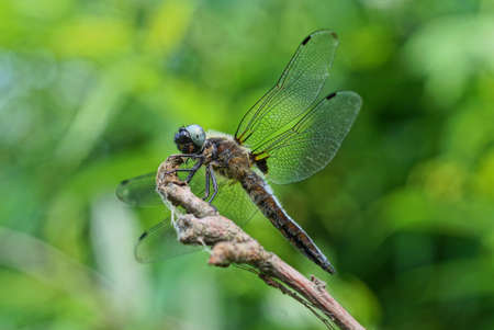 one big gray dragonfly sits on a branch on a green background in nature