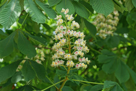 many white small chestnut flowers on a tree branch with green leaves in a spring park