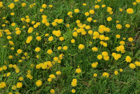 natural plant texture of many yellow dandelion flowers in green grass in nature