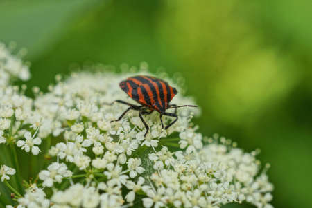 one striped beetle bug sits on small white flowers on a green background in nature