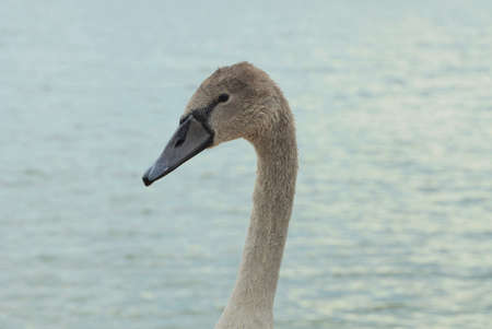 one head of a gray nestling bird of a swan on a thin neck on the street against the background of the water of the reservoir