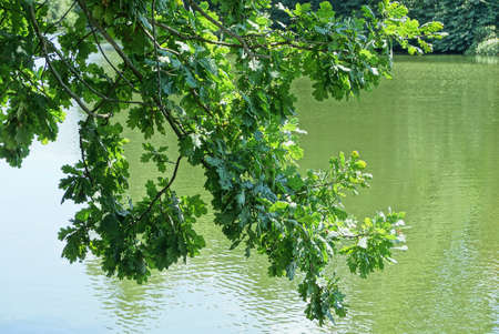 oak tree branch with green leaves over lake water in nature