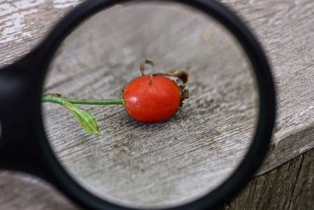 black magnifying glass magnifies one red rosehip with a green branch on a gray table Stock Photo
