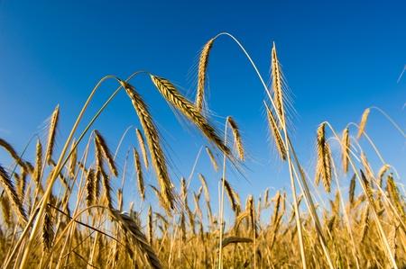 Yellow wheat on the cornfield photo