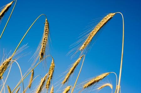 A couple of ears of wheat on a cornfield photo