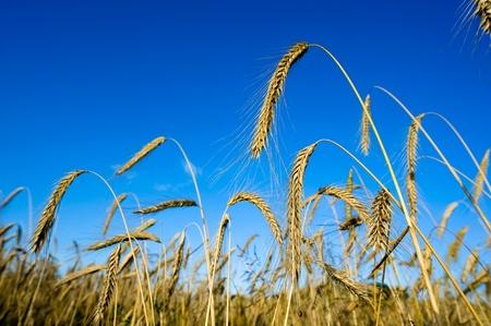 Wheat on a cornfield photo