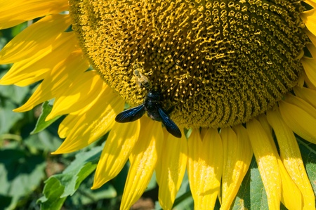 Tw bees sitting on a sunflower in a sunflowerfield. photo