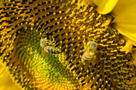 Two bees sitting on a sunflower in a sunflowerfield. photo