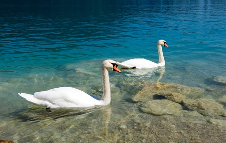 Two swans are swimming in a lake in Austria Stock Photo - 11151745