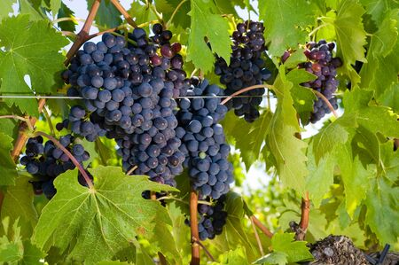 Grapes hanging in a vineyard in Tuscany in Italy. Stock Photo - 11222050
