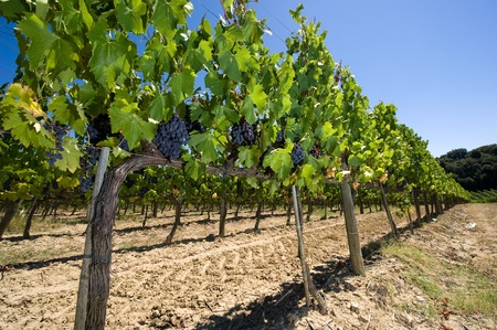 vine country: Grapes hanging in a vineyard in Tuscany in Italy. Stock Photo