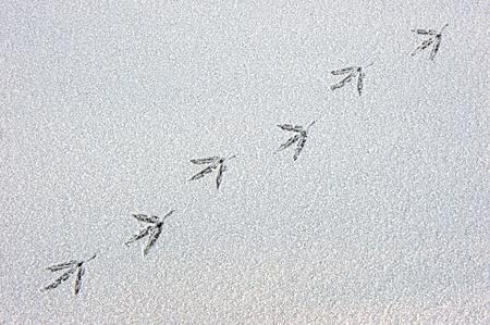 A bird trail in the fresh snow photo