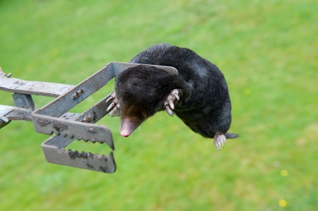 irritating: A mole is catched by an exterminator in the garden Stock Photo