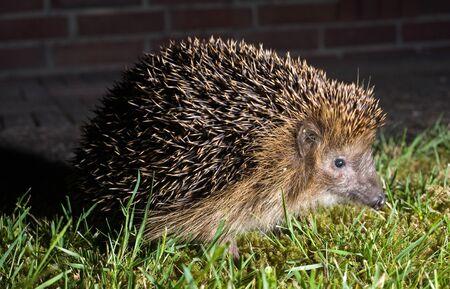 A hedgehog is walking in the grass in the dark in a garden photo