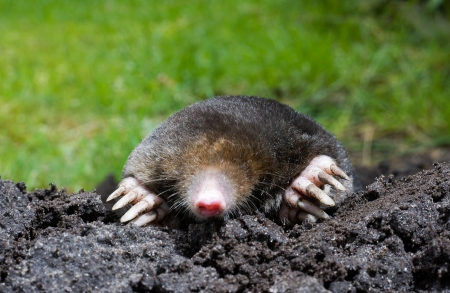 A mole is crawling through the sand Stock Photo