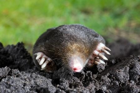 A mole is crawling through the sand Standard-Bild