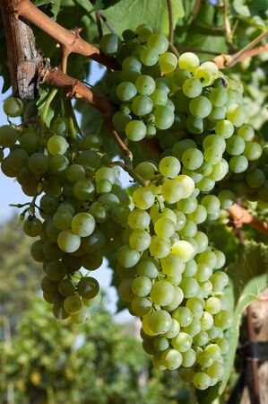 vegatation: Green grapes growing in a vineyard in croatia