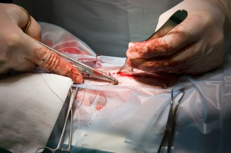 sterilization: A veterinarian is closing the incision with a thread after sterilizing a dog in a clinic