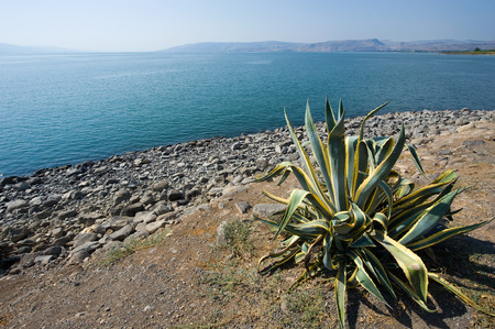 Cactus near the beach of Capernaum on the sea of Galilee