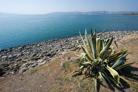 kefar: Cactus near the beach of Capernaum on the sea of Galilee