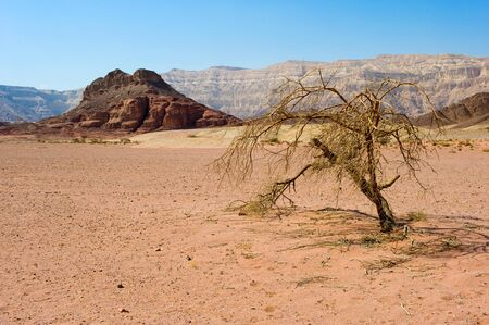 timna: Lonely tree in Timna Park in the southern part of the negev desert in Israel