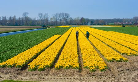 cultivation: LISSE, THE NETHERLANDS, APRIL 11, 2016: Two workers are checking yellow flowers on a field near Lisse in the Netherlands. Stock Photo