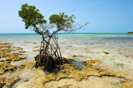 shore: Mangrove growing on the beach on one of the Florida Keys
