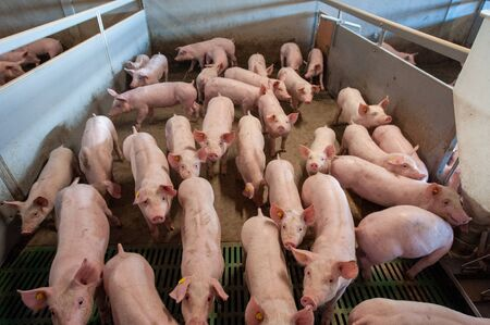Pigs from six weeks old in their living area on a pig farm.