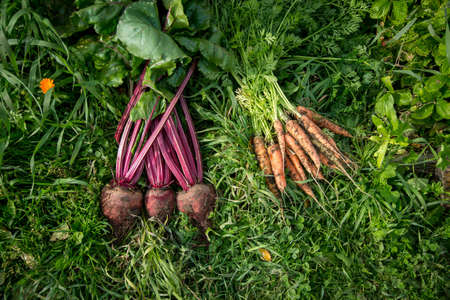A small crop of vegetables. Carrots and beets on the grass unwashed. Stock Photo