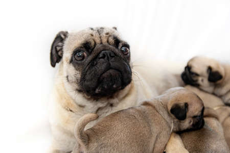 Pug close up. Pug dog with puppies on a white background.