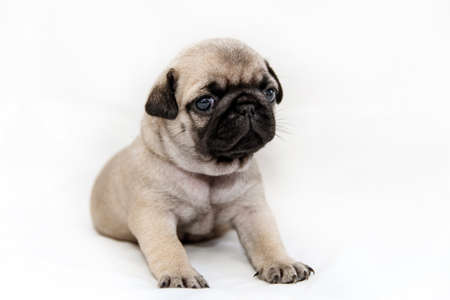 little pug puppy on a white background sits.