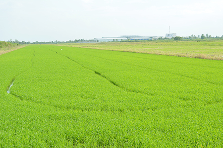 baby rice: Baby rice tree in rice field. Stock Photo
