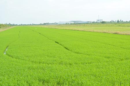 baby rice: Baby rice tree in rice field. Stock Photo