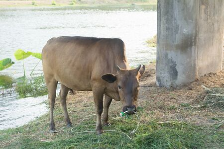 Cow for Breeding cows