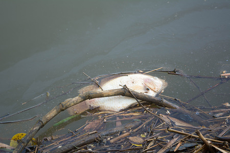 Dead fish from the polluted water. Imagens