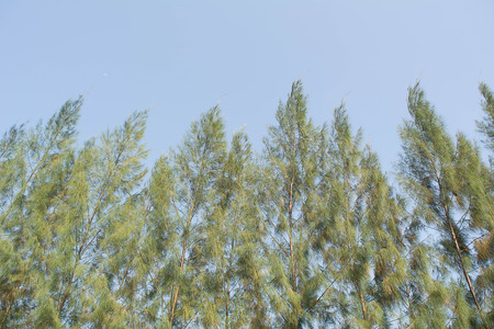Rbol de planta de pino, Un pino es cualquier árbol de coníferas en el género Pinus. Foto de archivo - 84329534