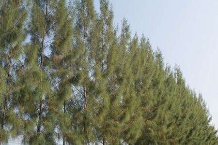 Pine Plant Tree, A pine is any conifer tree in the genus Pinus.