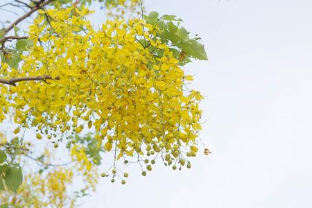 Flor de árbol de lluvia dorado Foto de archivo - 84329546