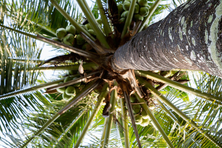 Coconut tree trunk, The coconut tree is a member of the family Arecaceae. It is the only accepted species in the genus Cocos.