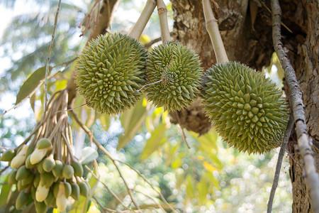 """Baby Durian Fruit, El durian es el fruto de varias especies arbóreas pertenecientes al género Durio. Considerado por muchas personas en el sudeste asiático como el """"rey de las frutas"""" Foto de archivo - 84258348"""