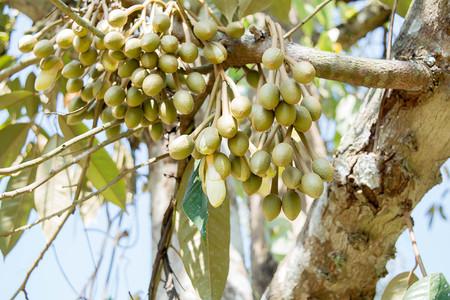 Flor de la fruta del Durian Foto de archivo - 84258350