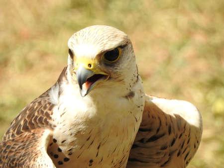 peregrine: Falcon Peregrine