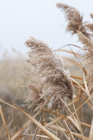 Autumn yelow reed foggy day Фото со стока