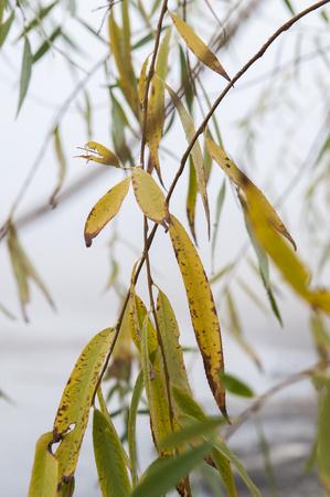 Willow leafs, autumn, foggy day Фото со стока