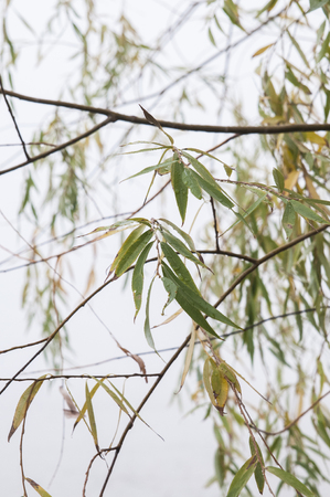 Willow leafs, autumn, foggy day Banco de Imagens