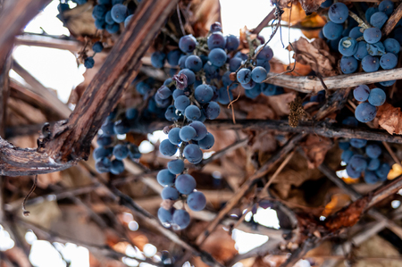 Grape vine and leaf in cold winter