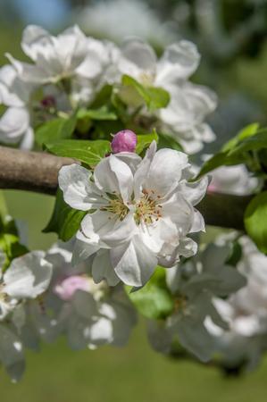 spring flowering of apple tree